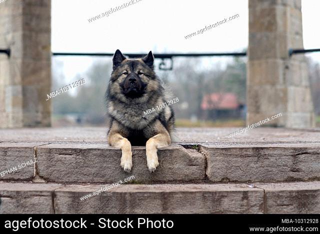 A Eurasier dog lies on a step, German dog breed