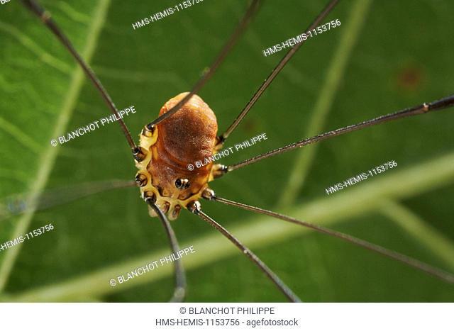 France, Opiliones, Phalangiidae, Leiobuninae, Harvestmen (Leiobunum blackwalli)
