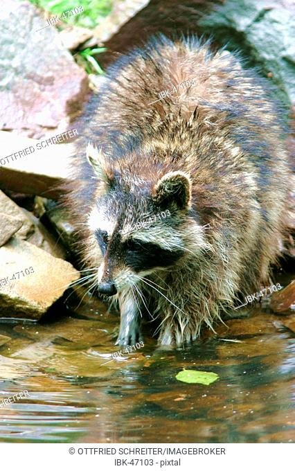 Raccoon Washing Food Stock Photos And Images Age Fotostock