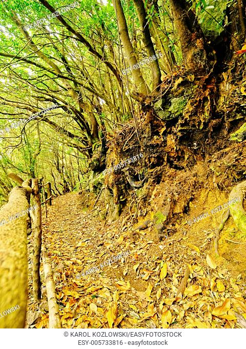 Beautiful forest in the northern part of La Palma, Canary Islands, Spain