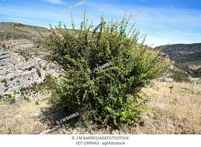 European barberry (Berberis vulgaris) is a thorny shrub with edible berries. This photo was taken in Alto Maestrazgo, Teruel province, Aragon, Spain