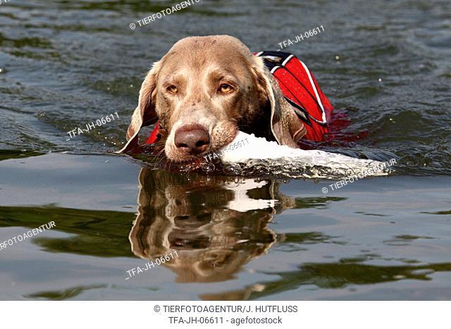 Weimaraner with lifejacket