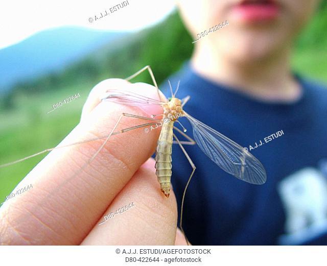 Dipteran (Tipula oleracea)