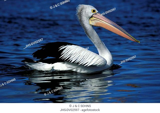 Australian Pelican,Pelecanus conspicillatus,Kangaroo Island,Australia,adult swimming in water