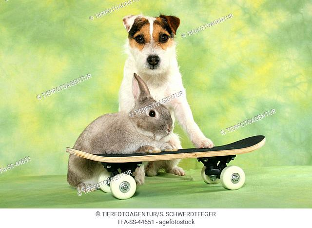 Parson Russell Terrier and rabbit