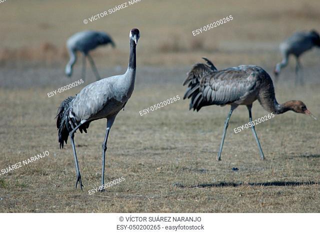 Common cranes (Grus grus). Gallocanta Lagoon Natural Reserve. Aragon. Spain