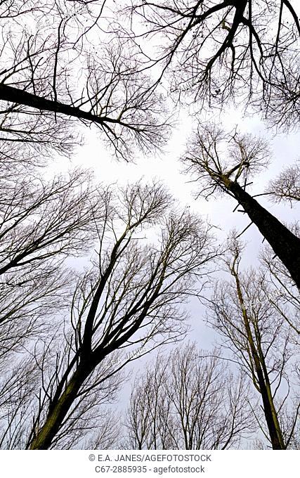 Poplar Populus X euramericana Plantation in winter against the sky
