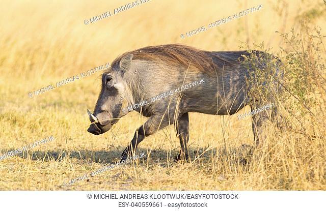 Warthog (Phacochoerus africanus) walking in the evening sun