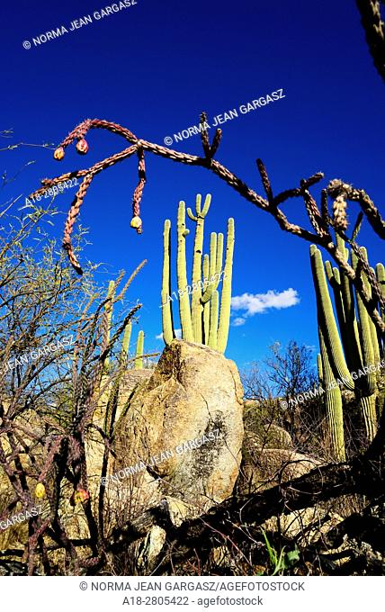Saguaro cactus, (Carnegiea gigantea), grow in the foothills of the Santa Catalina Mountains, a forest covered Sky Island