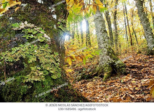 Forest of chestnut-trees Castanea sativa in autumn  Sierra de las Quilamas  Biosphere Reserve of Sierra de Béjar and Francia