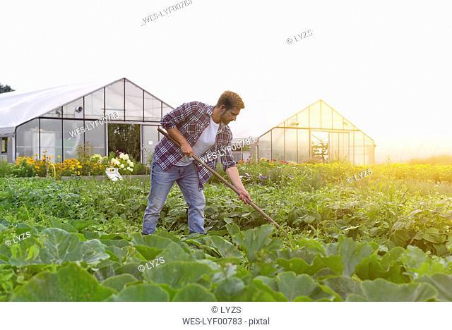 Farmer working in vegetable field
