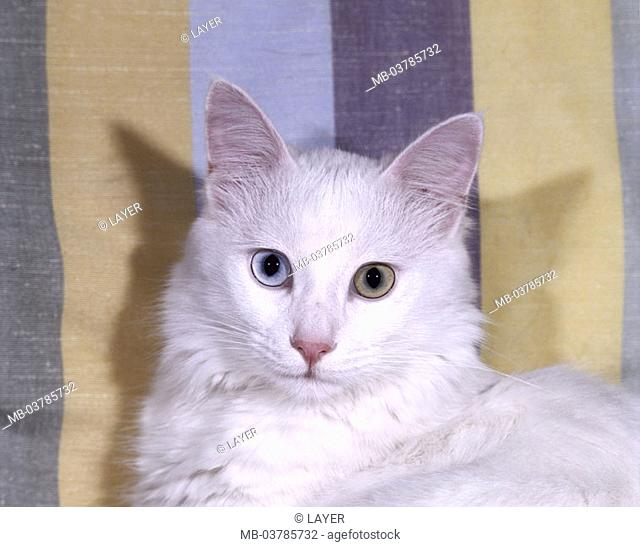 Cat, Turkish Angora, eyes, white pussy, portrait  Animals, mammals, pets, long hair cat, half long hair, race cat, nobly, eye color differently, mysteriously
