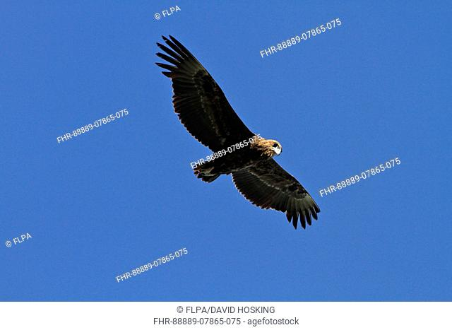Immature Bateleur Eagle flying - Botswana Southern Africa