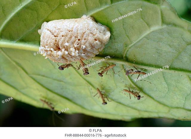 Emerged Young Praying Mantises Mantis Religiosa From Egg Case