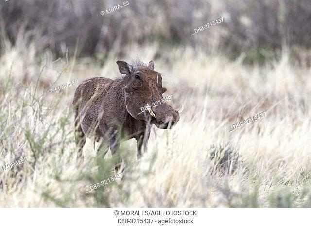 South Africa, Private reserve, Common warthog (Phacochoerus africanus), adult