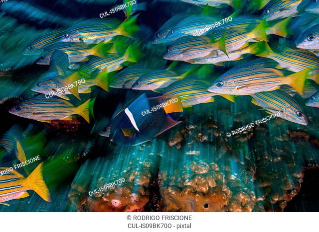 Yellow snappers and king angelfish, long exposure, Puntarenas, Costa Rica