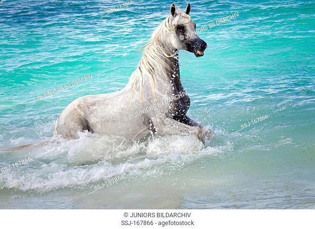 Arabian Horse. Gray mare in the sea. Seychelles