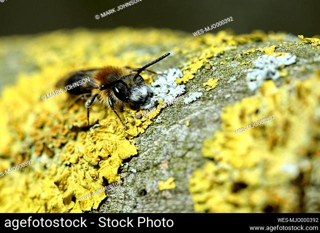Miner bee, Andrena, on yellow lichen