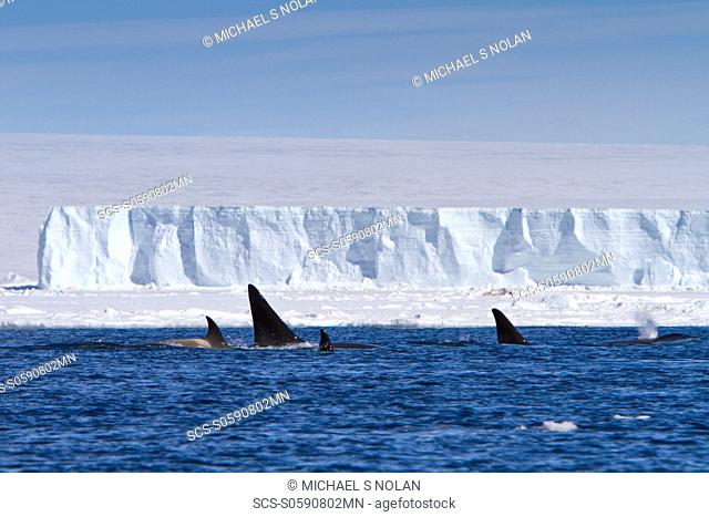 A small pod of 8 Type B killer whales Orcinus nanus in pack ice near Snow Hill Island Island at 64ø 26 1S 56ø 42 9W in the Weddell Sea, Antarctica