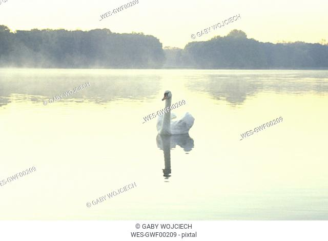 Swan in lake, Adenauer Weiher, Cologne, Germany