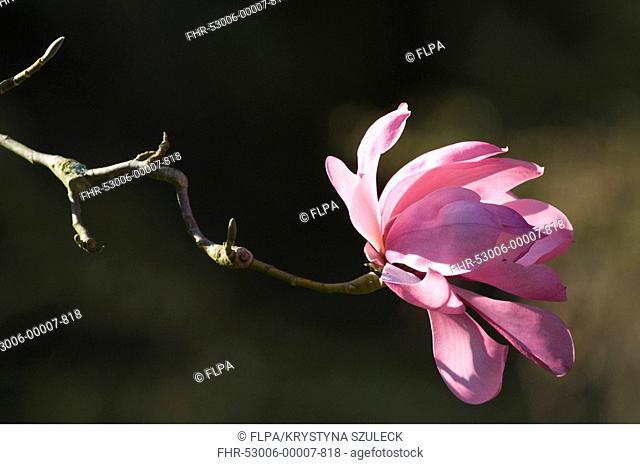Campbell's Magnolia Magnolia campbellii mollicomata flowering in garden, Yorkshire, England, april