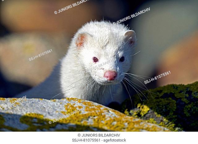 American Mink (Mustela vison, Neovison vison). Portrait of adult albino. Danmark