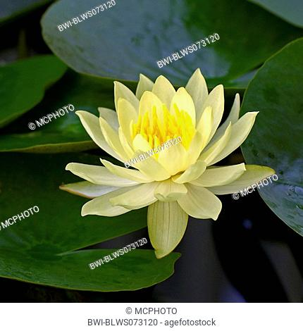 mexican waterlily, banana waterlily, yellow waterlily Nymphaea mexicana, single blossom
