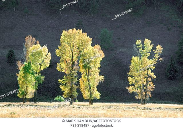 Cottonwoods (Populus deltoides) in Lamar valley. Yellowstone National Park. Wyoming. USA