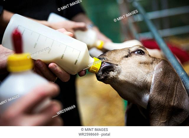 Close up of goats being bottle-fed in a stable