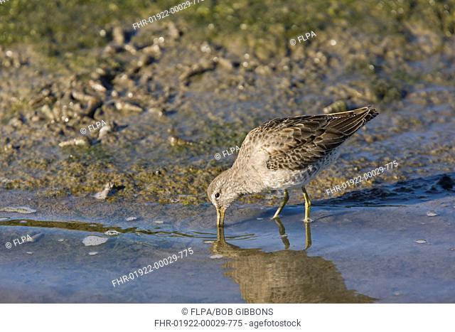 Short-billed Dowitcher Limnodromus griseus adult, winter plumage, feeding in lagoon, Elkhorn Slough, California, U S A , november