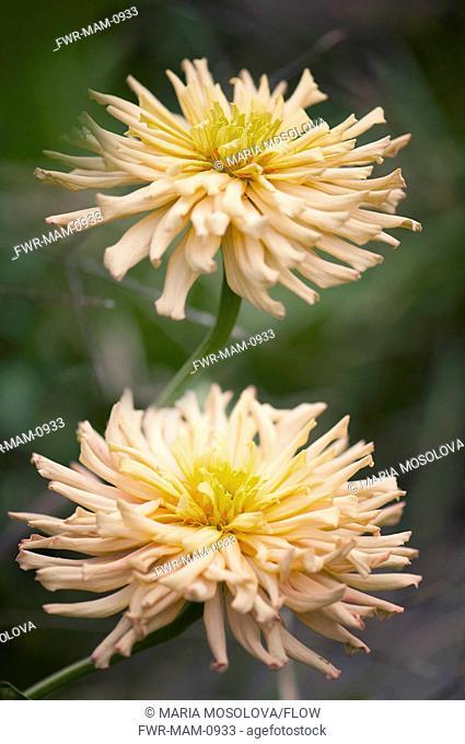 Zinnia 'Cactus Flowered Mix', Zinnia, Orange subject