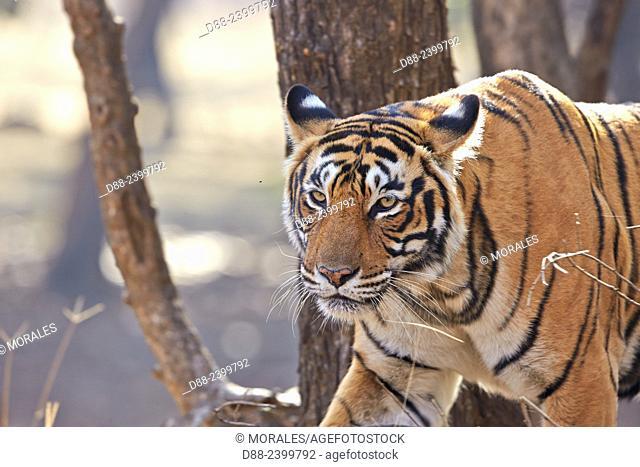 Asia,India,Rajasthan,Ranthambore National Park,Bengal tiger (Panthera tigris tigris),adult female