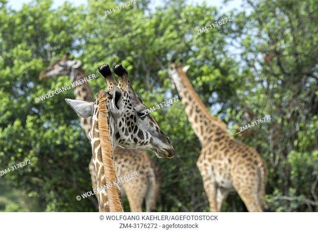 Masai giraffes (Giraffa camelopardalis tippelskirchi) feeding on trees in the Masai Mara National Reserve in Kenya