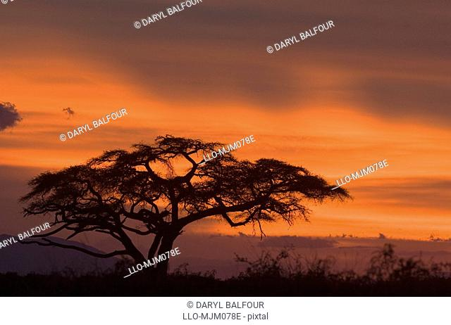 Silhouette of Camelthorn Acacia tree at sunset, Amboseli National Park, Kenya
