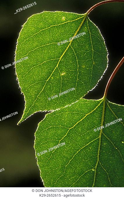 Trembling aspen (Populus tremuloides) leaves, Greater Sudbury, Ontario, Canada