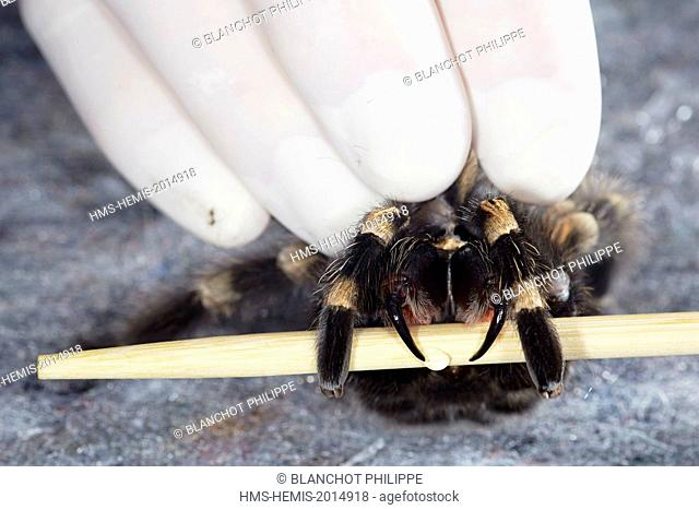 France, Paris, National Museum of Natural History, Mygalomorphae, Theraphosidae, Levy venom on a Mexican redknee tarantula (Brachypelma smithi)