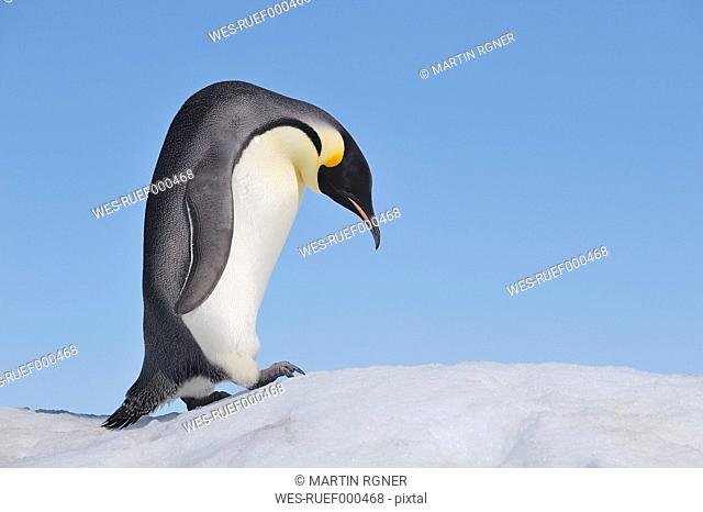 Antarctica, Antarctic Peninsula, Emperor penguin climbing on snow hill island