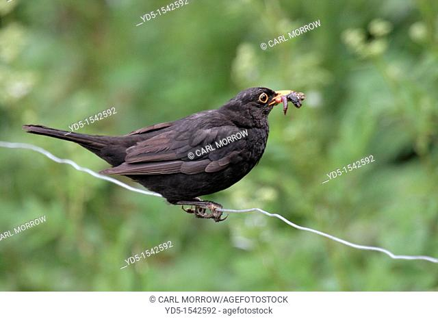 Male Blackbird Turdus merula