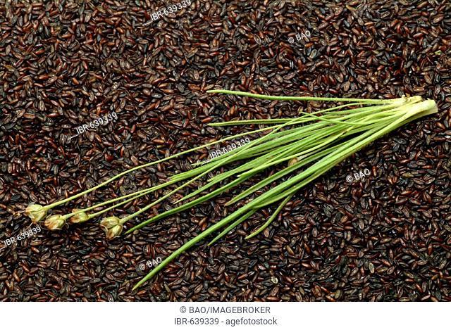 Sand Plantain (Plantago psyllium), medicinal herb