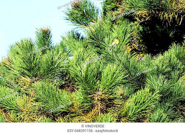 Pine Warbler (Setophaga pinus) perched in pine tree