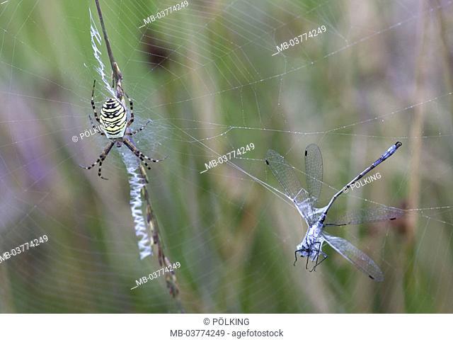 warep spider, Argiope bruennichi, network, loot, mean rush spinster,   Lestes sponsa Nature, wildlife, habitat, animals, wild animals, insects, arachnid