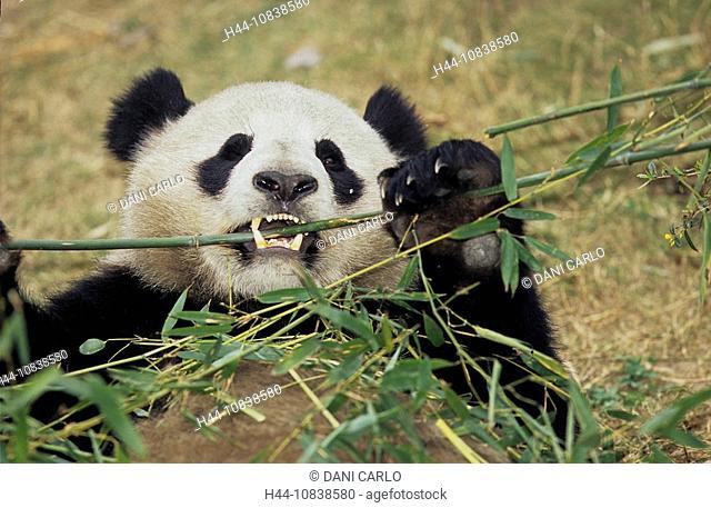 Giant Panda, Ailuropoda Melanoleuca, Chengdu Breeding and Research Base, Xiongmao Jidi, Sichuan, China, Asia, one bear