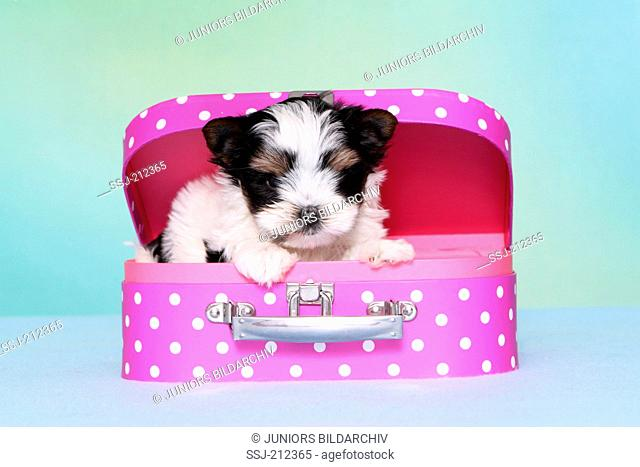 Biewer Terrier. Puppy (7 weeks old) in a toy suitcase. Studio picture against a blue background. Germany