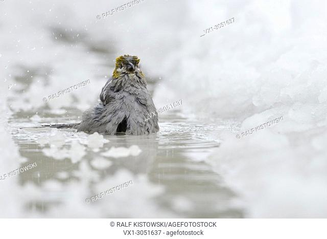 Pine Grosbeak (Pinicola enucleator ), female adult in winter, bathing, taking a bath in icecold water, puddle, fronta view, Montana, USA.
