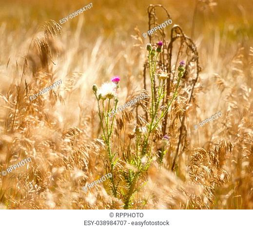 Soft Focus Effect on Purple and White Weeds Among the soft flow of wheat