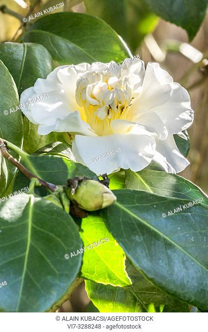 Camellia japonica 'Surpasse Nobilissima' ( BEL) 1886