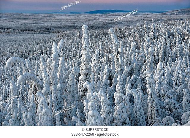 Canada, Yukon, hoarfrost on trees