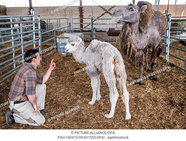 "10 April 2018, Sternberger Burg, Germany : Jens Kohlhaus, Operator of the Camel Farm in Sternberger Burg, lures the white baby camel """"Dshingis Khan"""""