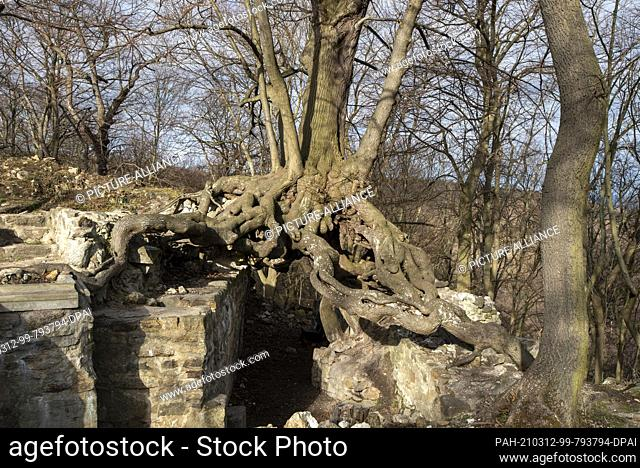 06 March 2021, Saxony-Anhalt, Stecklenberg: A winter lime (Tilia cordata) has been growing on the walls of the Lauenburg castle ruins in the Harz Mountains for...