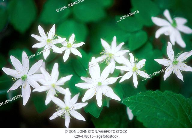 Stonecrop, (Sedum ternatum). Great Smoky Mountains NP, Tennessee. USA